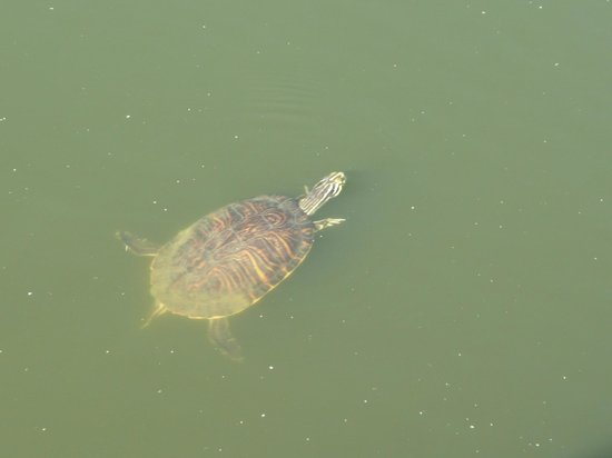 Crane's Roost Park : One of many very active turtles