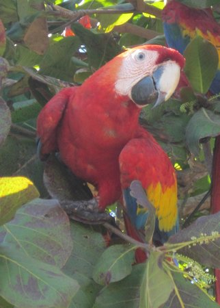 Hotel Punta Islita : 15 Parrots sitting in the tree about the restuarant