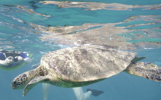 Pacific Whale Foundation : Turtles swim right up to you