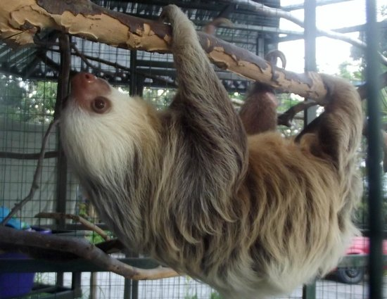 Toucan Rescue Ranch : 2 toed sloth