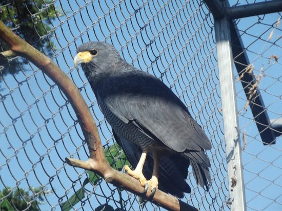 Toucan Rescue Ranch : Barred Hawk