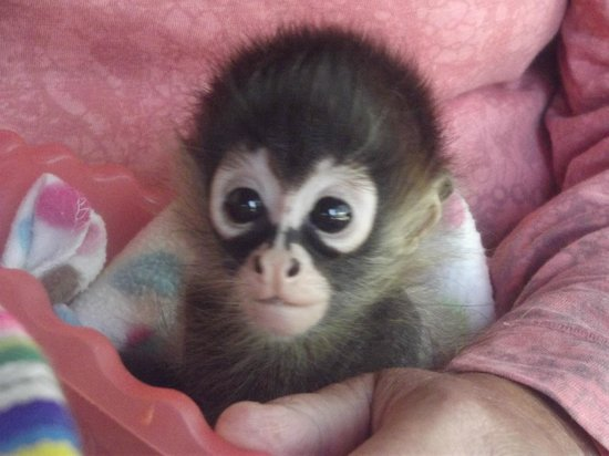 Toucan Rescue Ranch: Baby Noel spider monkey