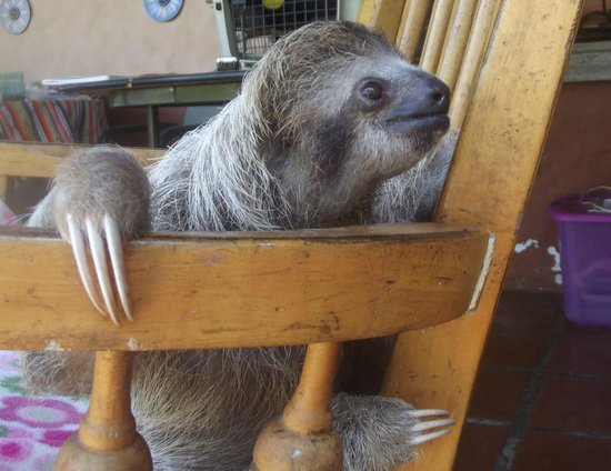 Toucan Rescue Ranch : Baby 3 toed sloth