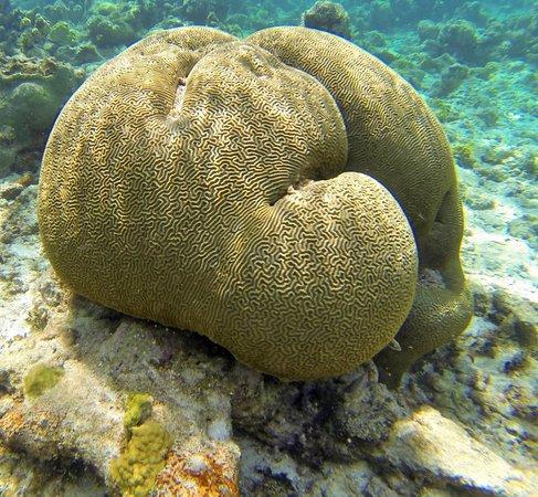 WCT - West Coast Tours Antigua : Brain coral