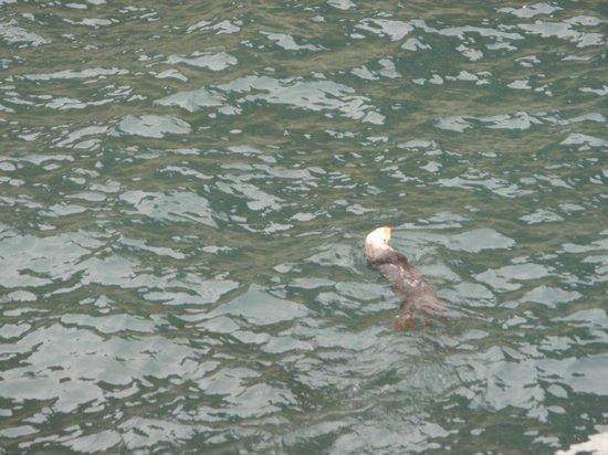 Partington Cove : Sea Otter