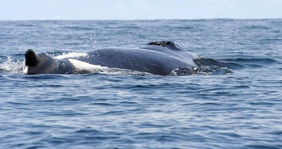 Drake Bay, Costa Rica: Adult whale breaching after swimming directly under us