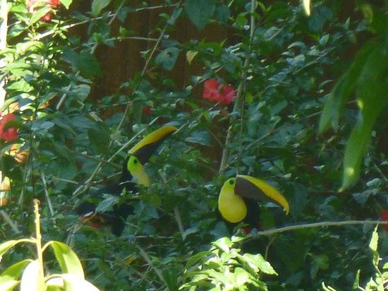 Hotel California: Toucans seen from the outdoor cafe