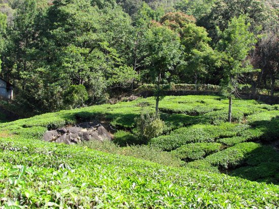 Windermere Estate : Section of tea estate