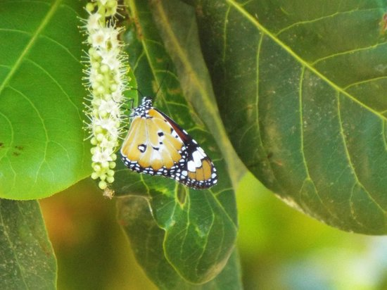 Sea Breeze Resort: One of the many butterflies that greeted us to the resort