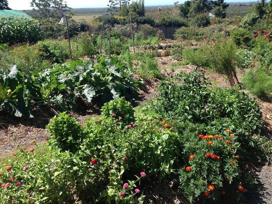 Fig Tree Restaurant: The vegetable garden
