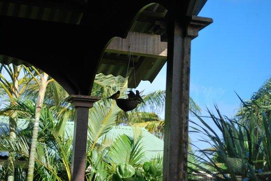 Piton Bungalows : Oiseaux sucrier