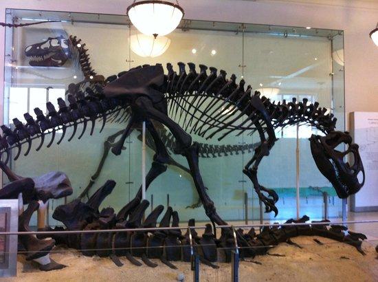 American Museum of Natural History : Allosaurus