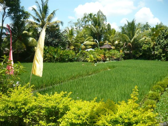 Gerebig Bungalows: view from our garden across rice to pool