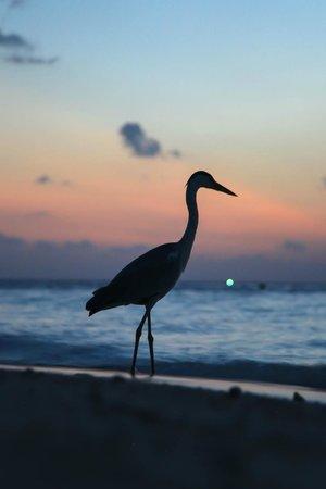 Biyadhoo Island Resort: местная цапля