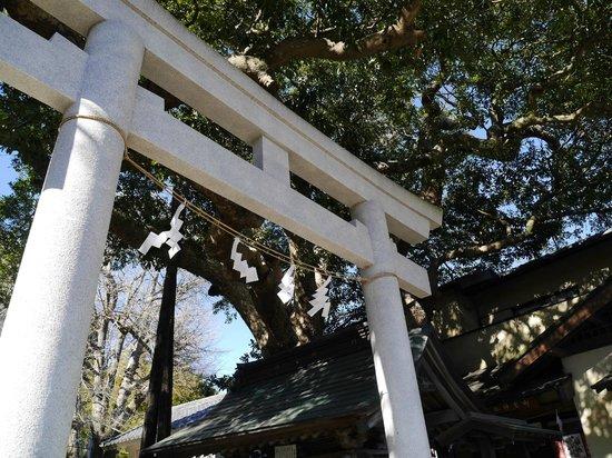 Goryo Shrine : 大きなタブノキ