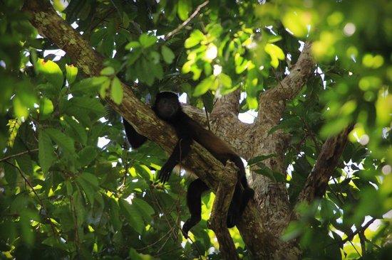 Casa Corcovado Jungle Lodge : mantled howler monkey
