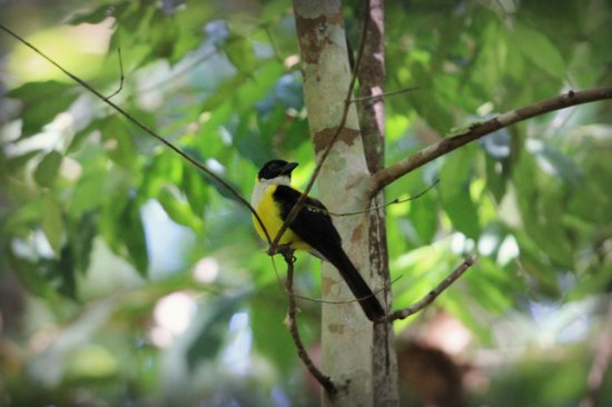 Casa Corcovado Jungle Lodge: white-throated shrike-tanager