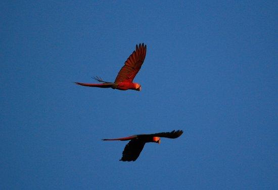 Casa Corcovado Jungle Lodge: scarlet macaws