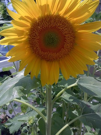 Randall's Farm and Greenhouse: Sunflower