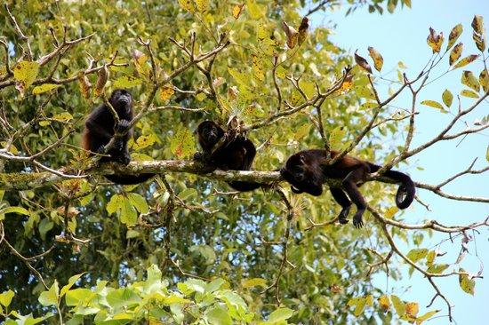 Arenal Natura Parque Ecológico: Howler Monkeys!!
