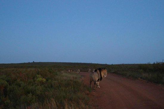 Gondwana Game Reserve: mehrere Löwen unweit unserer Hütte