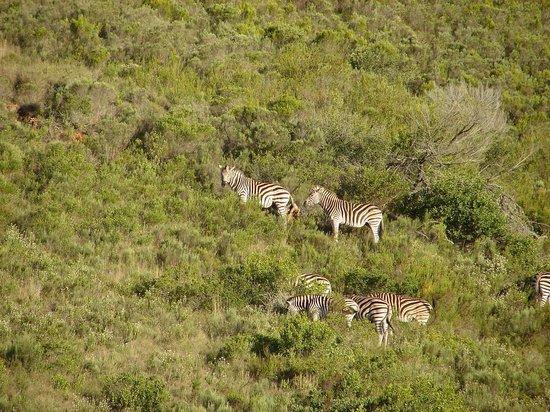 Gondwana Game Reserve: Zebras