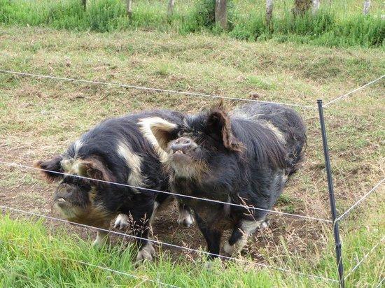 Waipoua Lodge : Ze pigs