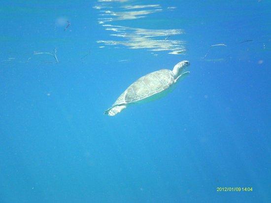 Captain Alan's Three Island Snorkeling Adventure: One of many sea turtles