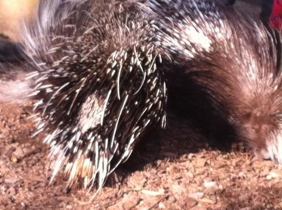 ZSL London Zoo: porcupine