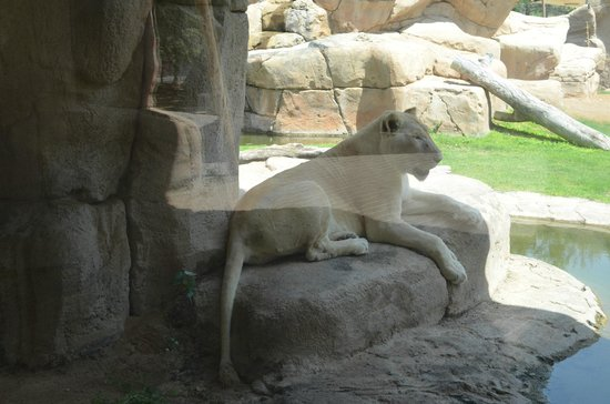 Al Ain Zoo: альбинос