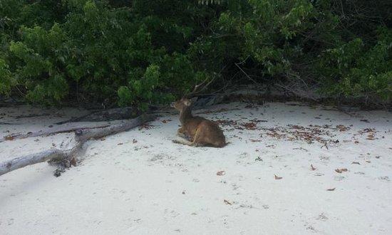 Ujung Kulon National Park : Rusa di pulau peucang