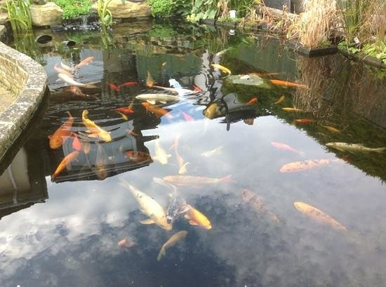 Watersedge Guest House: Koi pond