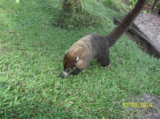 Arenal Observatory Lodge & Spa: Coatis