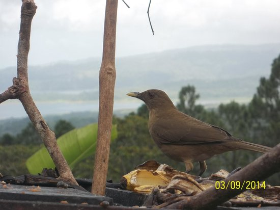 Arenal Observatory Lodge & Spa: Brown Jay