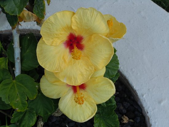 The Westin Kaanapali Ocean Resort Villas : Haibiscus flowers on the grounds