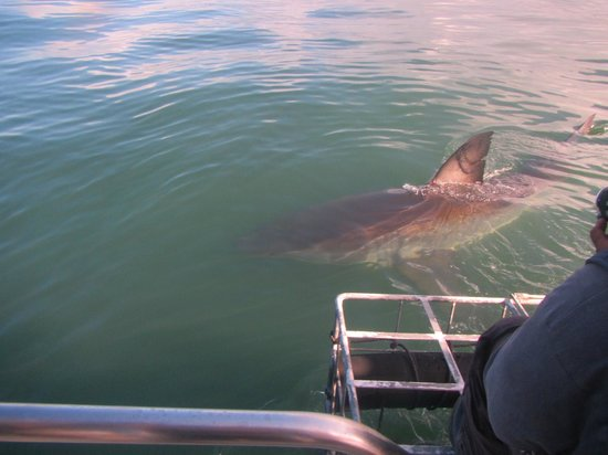 White Shark Diving Company: From the boat