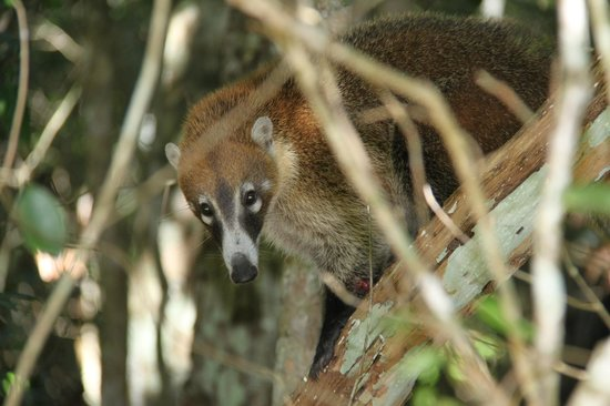 Rio Bec Dreams: A coati family on the way to Calakmul