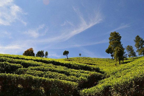 Heritance Kandalama : Tea trails