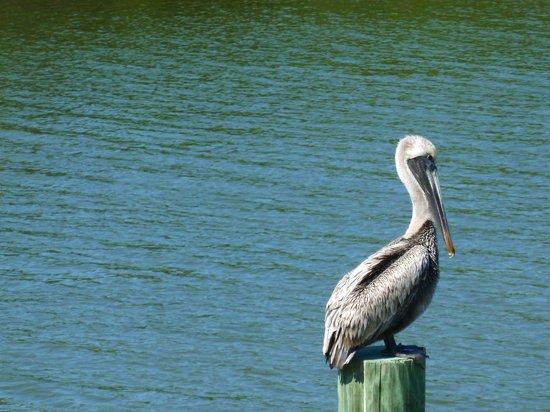 "J.N. ""Ding"" Darling National Wildlife Refuge: pelican"