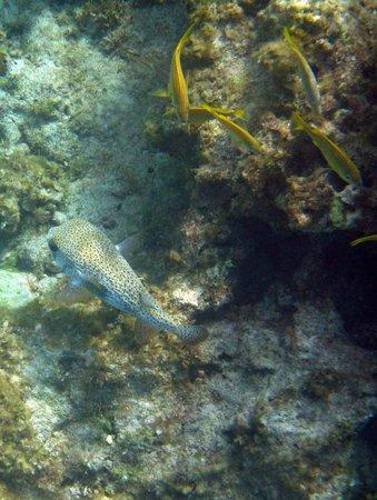 Governor's Beach: Porcupine Fish