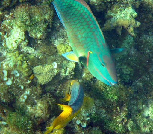 Governor's Beach: Parrotfish and Spanish Hogfish