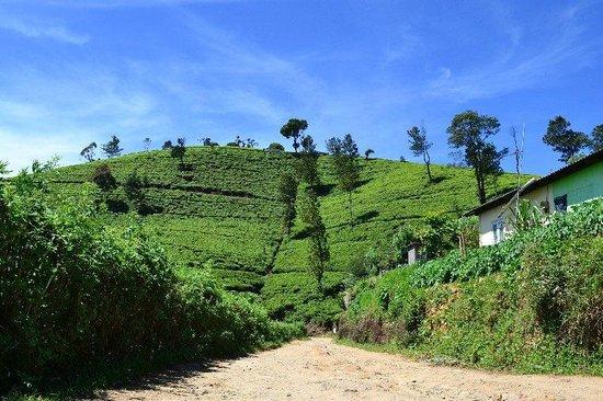 Heritance Tea Factory: walking through the tea gardens
