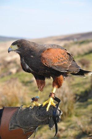 North Devon Hawk Walks: Macbeth