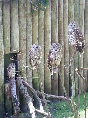 Ellie Schiller Homosassa Springs Wildlife State Park : Barred Owls