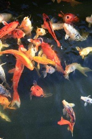 Capo Bay Hotel: koi carp in hotel ponds