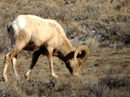 Wildlife Expeditions of Teton Science Schools : Bighorn sheep, another animal we hadn't seen anywhere in our trip!