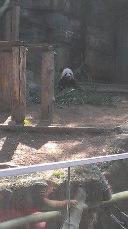 Zoo Atlanta: The panda eating bamboo
