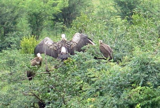 Victoria Falls Safari Lodge : Vultures drying their wings