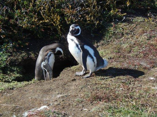 Seno Otoway Penguin Colony: Mated pair of Magellanic penguins at their burrow at Otway Sound Reserve near Punta Arenas