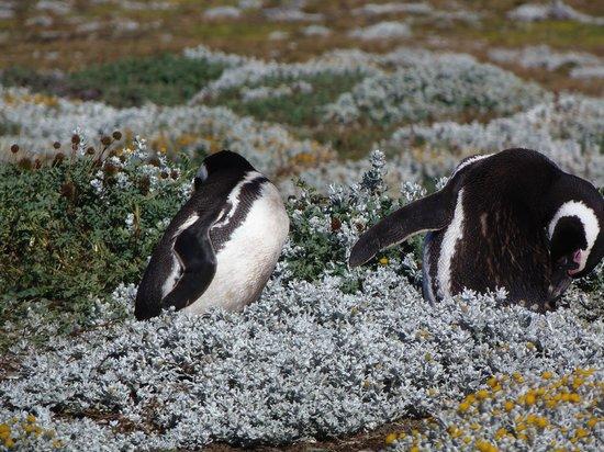 Otway Sound & Penguin Reserve: Magellanic penguins preening themselves at Otway Sound Penguin Reserve, Punta Arenas, Chile